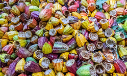 Browse partner ensia feature ag waste cacao main